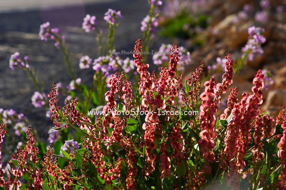 After a rare rainy season in the Negev Desert and Israel in general, an abundance of wildflowers sprout out and bloom. Knotweed sorrel (Rumex cyprius syn Rumex roseus) Photographed in the Aravah desert, Israel in February