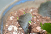 Succulent propagation from leaf cuttings. Closeup of a leaf cutting of Lavender Scallops (Bryophyllum fedtschenkoi Syn Kalanchoe fedtschenkoi) placed on the damp ground. Within days leafs and roots form as a new plant grows