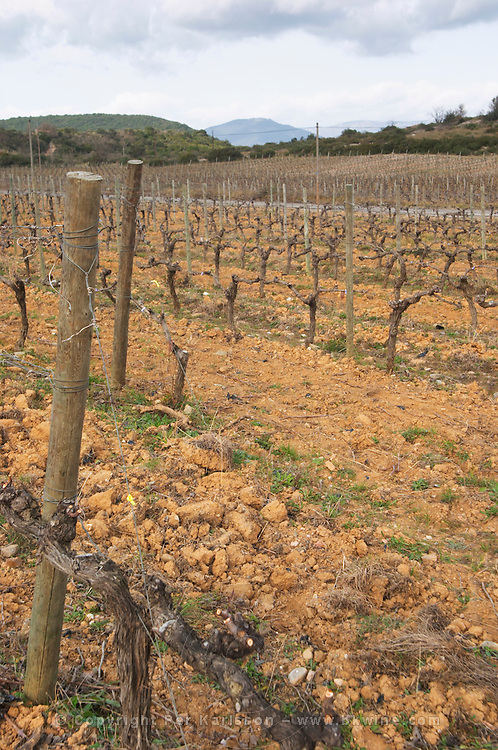 Domaine de Canet-Valette Cessenon-sur-Orb St Chinian. Languedoc. Vines trained in Cordon royat pruning. Terroir soil. The vineyard. France. Europe.