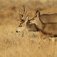 A massive mule deer buck on the trail of love during the November rut.