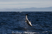 dusky dolphin, Lagenorhynchus obscurus, leaping and flipping, Kaikourua, South Island, New Zealand ( South Pacific Ocean )