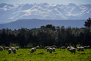 A herd of free grazing Sheep. Photographed on Crete island, Greece