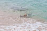 blackfin or blacktip reef shark ( Carcharhinus melanopterus ) re-enters water after beaching itself pursuing bait onto the beach, Turu Cay, Torres Straits, Queensland, Australia