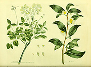 Thea the Tea Tree from Vol II of the book The universal herbal : or botanical, medical and agricultural dictionary : containing an account of all known plants in the world, arranged according to the Linnean system. Specifying the uses to which they are or may be applied By Thomas Green,  Published in 1816 by Nuttall, Fisher & Co. in Liverpool and Printed at the Caxton Press by H. Fisher