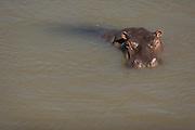 Hippo bathing in river, Masai Mara, Kenya