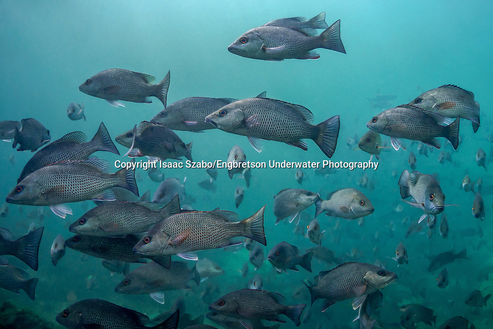 Gray Snapper<br /> <br /> Isaac Szabo/Engbretson Underwater Photogaphy