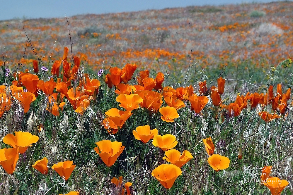 The image focuses on a foreground mass of yellow-orange California poppies with its blurred background showing the flowers spreading over a distant rising hill.