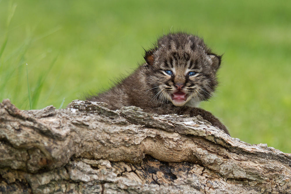 """Bobcat kitten trying to look ferocious but looking precious instead.<br /> <br /> Available sizes:<br /> 18"""" x 12"""" print <br /> 18"""" x 12"""" canvas gallery wrap <br /> 24"""" x 16"""" print<br /> <br /> See Pricing page for more information.  A Please contact me for custom sizes and print options including canvas wraps, metal prints, assorted paper options, etc. <br /> <br /> I enjoy working with buyers to help them with all their home and commercial wall art needs."""