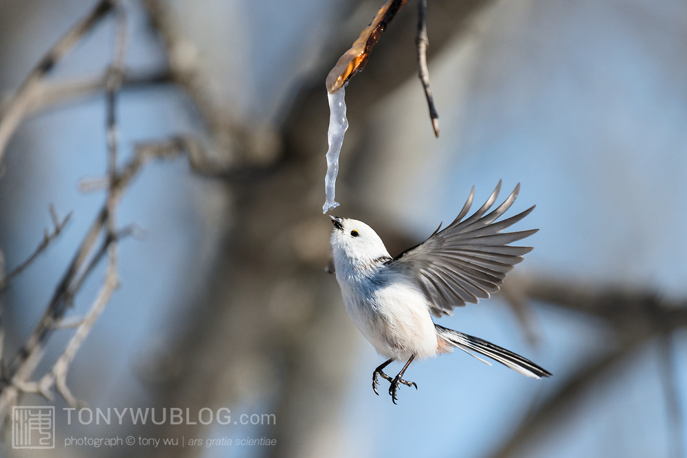 This is a long-tailed tit (Aegithalos caudatus) hovering in front of an icicle formed from the sap of a painted maple tree (Acer pictum). During winter months, small birds like this make use of this calorie-rich food source (essentially frozen maple syrup) to fuel their high metabolisms. The birds fly to an icicle, hover, break off a piece and fly away, all in the blink of eye. A piece of the icicle is visible in the bird's mouth.