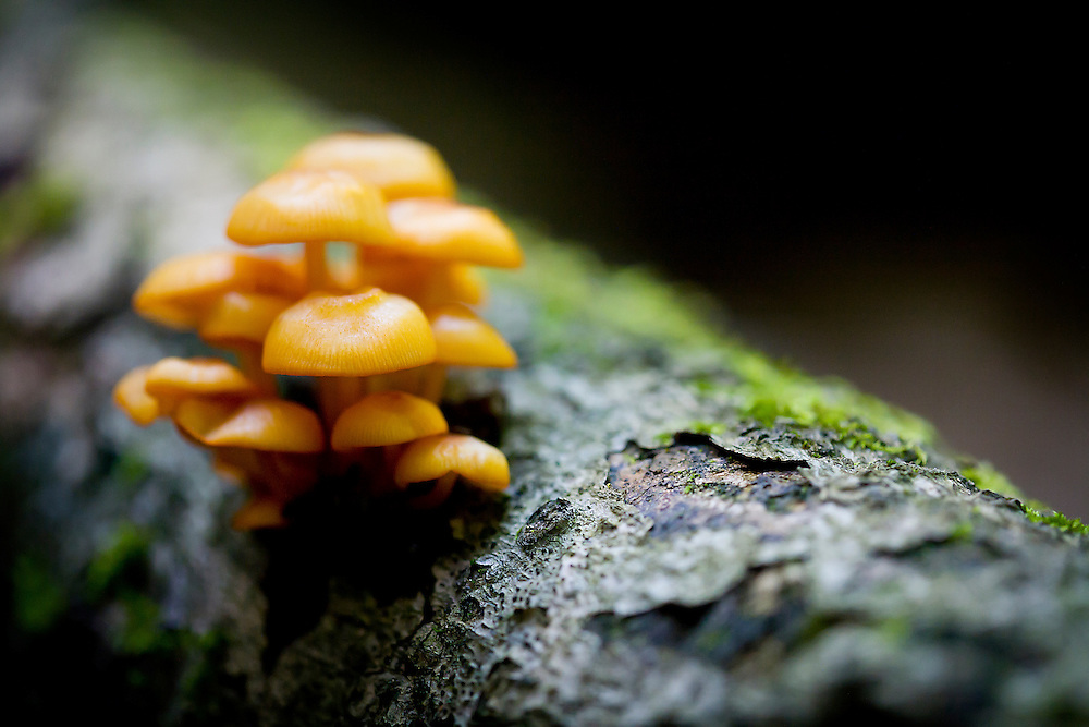 Mycena leaiana mushrooms growing on log