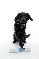 21 July 2008:  10 month old female Golden Labrador K-9 dog named Bella Bailey Castellano posing in the studio getting ready to fetch a newspaper on a white background.  Black Lab, Golden Retriever puppy, a family pet.