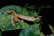 Monkey Frog Reaching (Phyllomedusa vaillanti) in jungle at night - Amazonia, Peru.