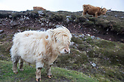 Highland cattle near Applecross on the 4th November 2018 on the Applecross Peninsula on the west coast of Scotland in the United Kingdom.