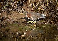 A green heron stalks prey along the edge of Round Cove in Harwich.
