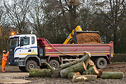 HS2 contractors use a JCB 535-95 telehandler to load a truck with wood chip from mature trees recently felled around Grim's Ditch for the HS2 high-speed rail link on 24th November 2020 in Aylesbury Vale, United Kingdom. Grim's Ditch is a Scheduled Ancient Monument, an earthwork believed to originate in the 1st millennium BC bordered by historically important hedgerows, and the HS2 project is expected to destroy around one-third of a 350-metre section of the ditch.