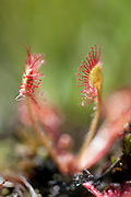 Round Leaved Sundew, Drosera rotundifolia, Hothfield Heathlands, Kent UK, Kent Wildlife Trust, On each leaf, hair-like tendrils tipped with glistening droplets attract passing insects. But this 'dew' is very sticky and when the sundew's tendrils detect the presence of prey, it curls them inwards, trapping the insect. Eventually, the whole leaf wraps around the prey; the enclosed insect is digested and the nutrients absorbed by the plant. The acidic habitats the Round-leaved Sundew lives in don't provide enough nutrients, so it has evolved this carnivorous way of life to supplement its diet