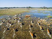 Aerial view of red lechwe (Kobus leche), an antelope found in wetlands areas. in the Okavango Delta, Okavango Delta, Botswana, Africa