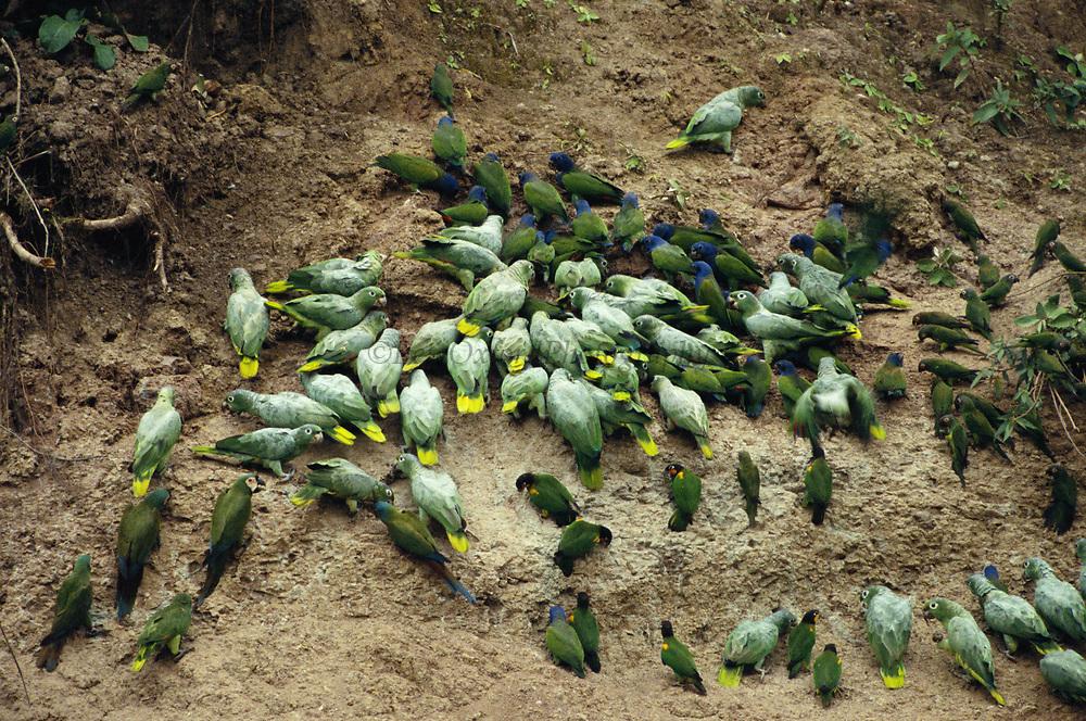 Macaws & Parrots on Clay Lick<br />Serjali Lick. Mishagua River. Amazon,  PERU.  South America