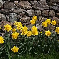 Europe, United Kingdom, Wales. Daffodils at Cymer Abbey in Gwynedd, a Welsh Historic Monument of CADW.