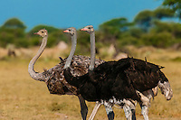 Two male and one female ostriches, Nxai Pan National Park, Botswana.