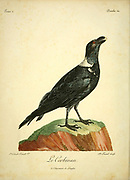 Corbeau corbivau thick-billed raven (Corvus crassirostris), a corvid from the Horn of Africa, shares with the common raven the distinction of being the largest bird in the corvid family, and indeed the largest of the passerines. from the Book Histoire naturelle des oiseaux d'Afrique [Natural History of birds of Africa] Volume 2, by Le Vaillant, François, 1753-1824; Publish in Paris by Chez J.J. Fuchs, libraire 1799