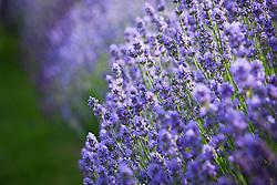 Lavandula angustifolia 'Munstead'. English lavender