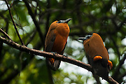 Capuchinbird or Calfbird (Perissocephalus tricolor)<br /> Karanambu Lodge<br /> Rupununi<br /> GUYANA<br /> South America<br /> RANGE: Humid forests north of Amazon River & east of Rio Negro