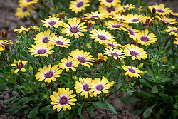 Osteospermum 'Special Erato Purple Eye' - African daisy