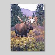Alaska. Moose. Alces alces. Moose produce the largest antlers in North America spanning up to  6 feet across.
