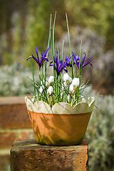 Winter terracotta container with crocus and Iris reticulata