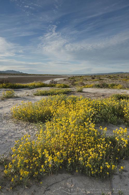 Carrizo Plains National Monument, California. Yellow Goldfields (Lasthenia sp.) carpeting the plains near Soda Lake