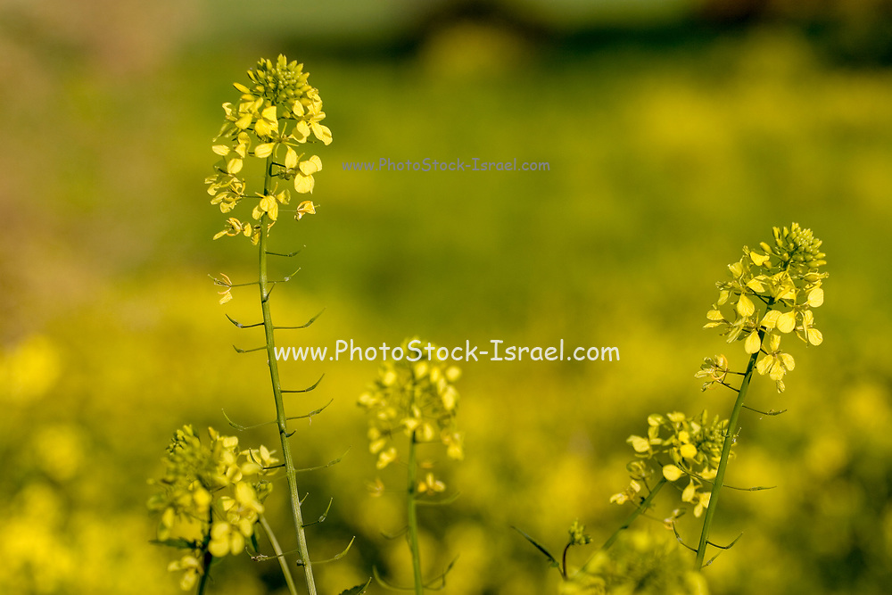Blooming spring flowers. Photographed in the Galilee, Israel