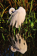 Great Egret in breeding plumage preening at edge of marsh on a calm day.