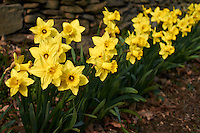Daffodils in Bloom -- Three Days from Spring. Image taken with a Leica X1 (ISO 160, 24 mm, f/2.8, 1/1000 sec).
