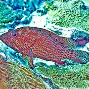 Grasby inhabit reefs in Tropical West Atlantic; picture taken Grand Turk.