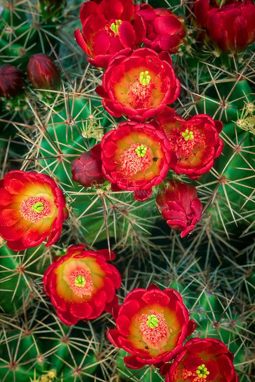 Bright red blossoms on a claret cup cactus near Fredricksburg, Texas