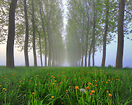 An alley of poplar trees and a carpet of dandelions in full blossom on the ground. Taken at dawn on a foggy morning at the beginning of April in the countrysibe nearby the small town of Osasio in Piedmont, Italy