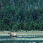 Elk, (Cervus elaphus) Cow tries to lead calf to swollen river to cross.He refuses and she coaxes him to cross.