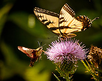 Hummingbird Clearwing Moth and Eastern Tiger Swallowtail Butterfly on a Thistle Flower.. Image taken with a Nikon 1 V3 camera and 70-300 mm VR lens