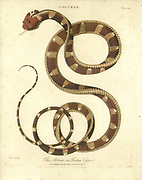 The Atrox or Fierce Viper Handcolored copperplate engraving From the Encyclopaedia Londinensis or, Universal dictionary of arts, sciences, and literature; Volume IV;  Edited by Wilkes, John. Published in London in 1810