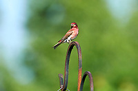 Purple Finch (Carpodacus purpureus)perched in a garden Cherry Hill, Nova Scotia, Canada