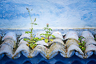 Plants grow on a small roof above entrance door of a blue house in Chefchaouen, Morocco.