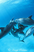 Atlantic spotted dolphins, Stenella frontalis, slam into each other during aggressive social interaction, Little Bahama Bank, Bahamas ( Western Atlantic Ocean )