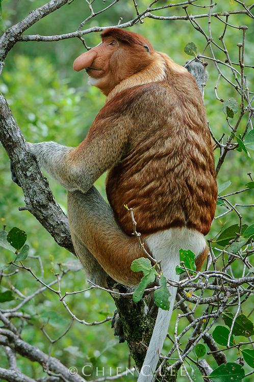 Proboscis Monkey (Nasalis larvatus), male. Sarawak, Malaysia (Borneo).
