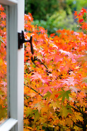 A japanese Maple tree turning colors in the Autumn in Portland, Oregon