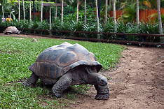 Aldabran Giant Tortoise (Aldabrachelys gigantea)