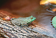 02471-001.16 Bullfrog (Rana catesbeiana) Marion Co.   IL