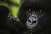 Close-up portrait of a female mountain gorilla (Gorilla beringei beringei) holding her young, Park de Volcanoes ,Rwanda
