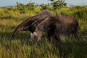 Giant Anteater (Myrmecophaga tridactyla)<br /> Savannah<br /> Rupununi<br /> GUYANA. South America<br /> RANGE: Central and South America
