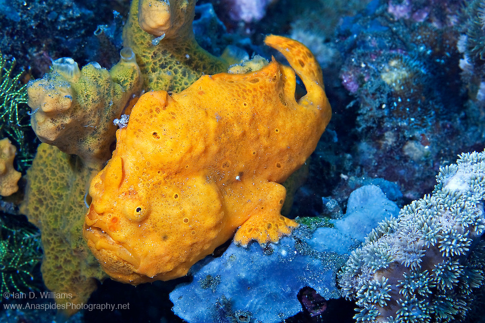 Frogfish are lie & wait carnivorous predators that move slowly along the bottom using their feet-like pectoral fins.